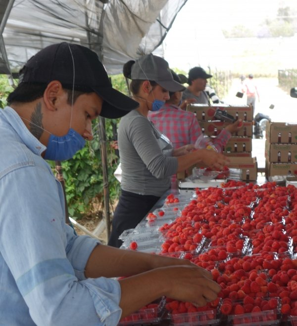 Berry picking in Mexico