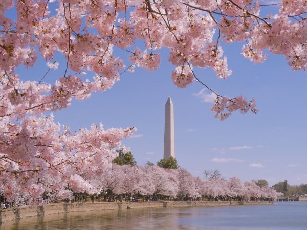 The Washington Monument in the distance with cherry blossoms in the foreground
