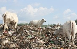 Cows on the landfill
