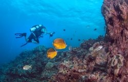 Pair of Oriental butterflyfish in the coral reef with a scuba diver, Spratly Islands, South China Sea.