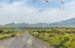 Huge swarm of locusts in Omo Valley, Ethiopia.