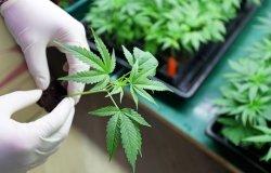 Image - Cannabis