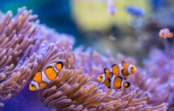 Clownfish and purple sea anemone